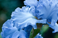 Blue Bearded Iris 2